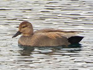 gadwall duck, bethany lakes park, allen, texas