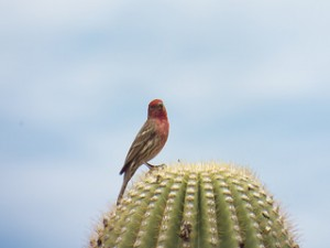 house finch on saguaro, march 22, 2014