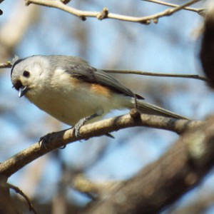 tufted titmouse march 24 2014