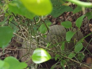 armadillo along trinity trail 4 14 2014