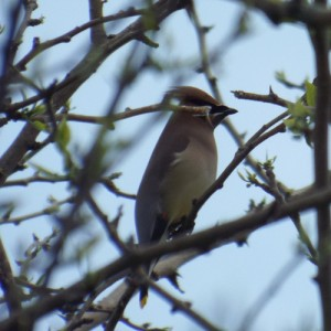 cedar waxwing, april 26, 2014 trinity trail,