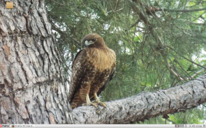 red-tailed hawk laptop screenshot 4 2014