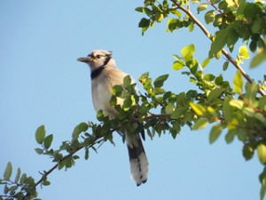 blue jay at russell creek park may 4 2014