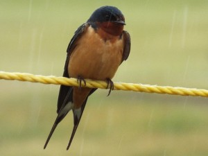 barn swallow on a rainy Thursday