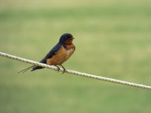 barn swallow 5 9 2014