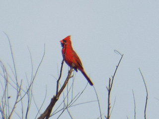 northern cardinal 5 17 14 southlake park
