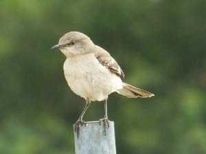 Mockingbird, Green Park, Allen,Texas, May 24, 2014