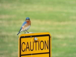 eastern bluebird may 25 ,2014 bob woodruff park