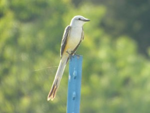 scissor-tailed flycatcher, lake ray roberts 5 31 2014