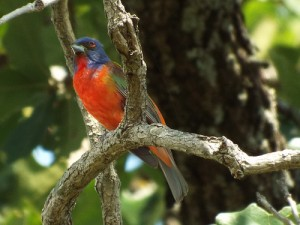 painted bunting, lake ray roberts may 31 2014