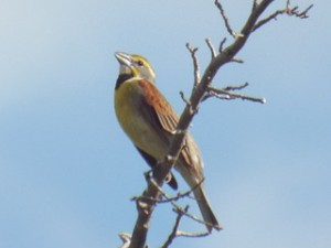 dickcissel singing 5 31 2014 lake ray roberts