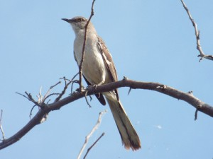 northern mockingbird 6 21 2014 lake ray roberts