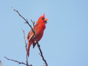 male northern cardinal, june 21, 2014, lake ray roberts