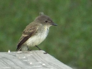 eastern phoebe, flying feathered friends, june 21, 2014