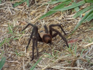 brown tarantula, june 21, 2014, lake ray roberts johnson branch