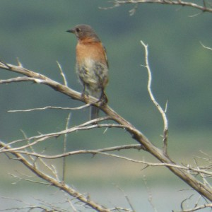 sub-adult eastern bluebird lake lavon 6 28 2014