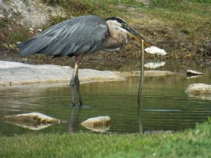 great blue heron with water snake bethany lakes park 7 27 2014
