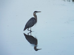 great blue heron, towne lake park august 3 2014