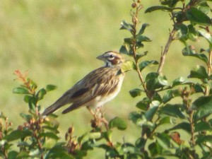 lark sparrow, south lake park, farmersville texas 8 3 2014