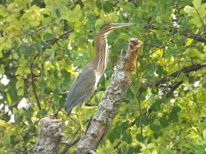 green heron bethany lakes park, allen texas august 3 2014