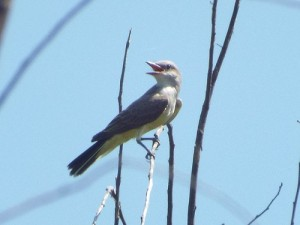 western kingbird, trinity river audubon center, dallas, texas, august 9 2014
