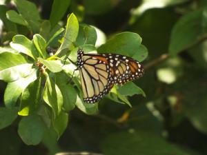 monarch butterfly 8 11 2014