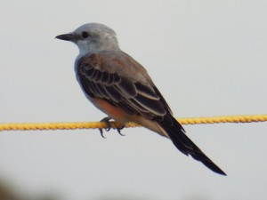 scissor-tailed flycatcher,breckinridge park richardson texas august 28 2014