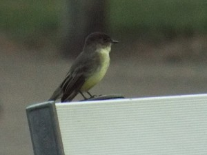 eastern phoebe, 111 ranch garland august 28 2014
