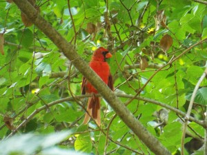 northern cardinal, mckinney community trail 8 31 2014