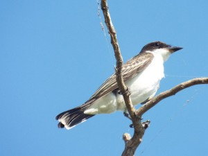 eastern kingbird, brockdale park, collin county texas august 31 2014
