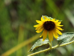 common sunflower, september 1 2014