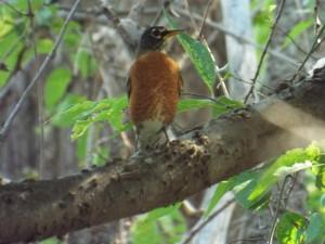 american robin, bethany lakes park, 9 21 2014