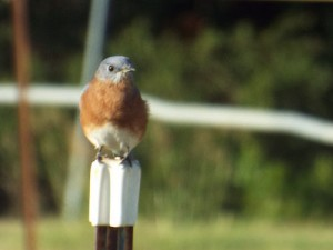 eastern bluebird on a post 9 24 2014
