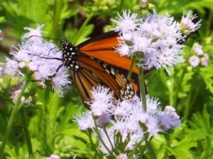 monarch butterfly in Fair Park, 9 27 2014