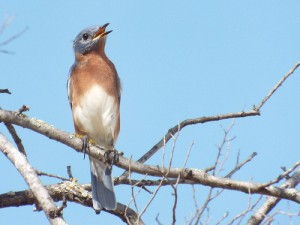 eastern bluebird, breckinridge park richardson texas october 10 2014