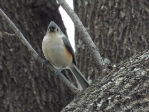 Tufted Titmouse, Towne Lake Park, 1 10 2015