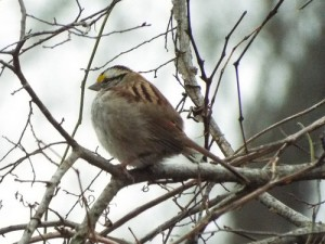 White-throated sparrow limestone quarry park 1 11 15 left perspective