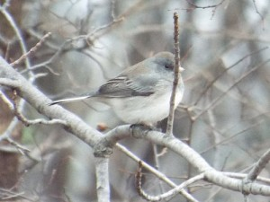 Dark-eyed Junco, Limestone Quarry Park 1 11 2015