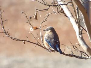 eastern bluebird 1 15 2015, murphy city park