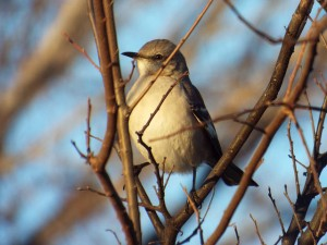 Northern Mockingbird, Lake Ray Roberts Johnson Branch 1 17 2015