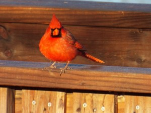 northern cardinal lake ray roberts 1 15 2015