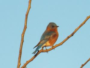 bluebird on a branch at the brockdale trailhead 1 18 2015