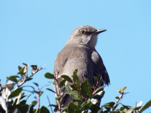 Northern Mockingbird, Glendover Park 1 24 2015