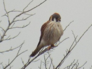 american kestrel 2 4 2015 breckinridge park