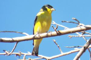 Lesser Goldfinch, Tono Chul Park, Tucson
