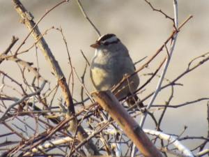 White-Crowned Sparrow, Brandi Fenton Park