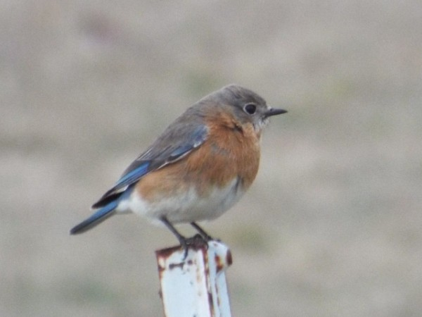 Eastern bluebird on a post 2 20 15