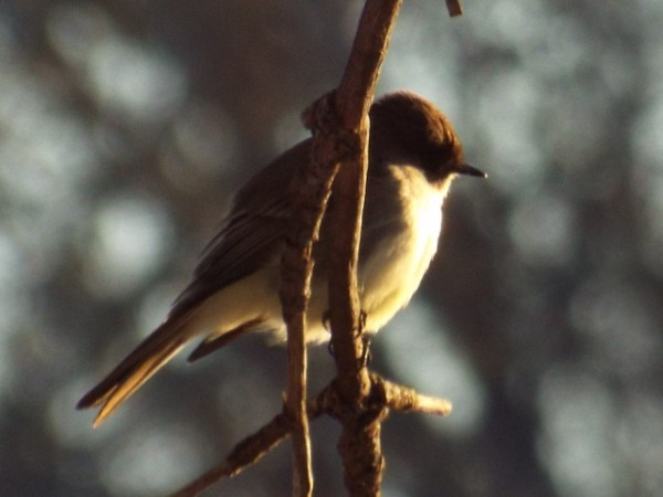 Eastern Phoebe Breckinridge Park 3 5 2015