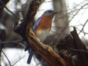 eastern bluebird 3 15 2015 shawnee