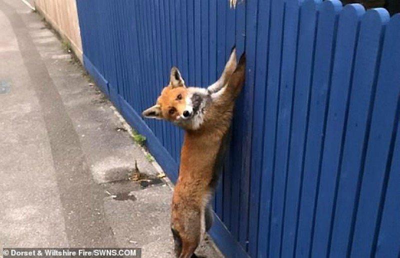 Вот что бывает с любопытными лисами.
